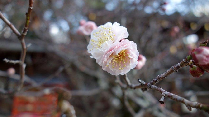 梅の花 京都市北区紫野 今宮神社