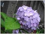 住吉神社に咲く紫陽花