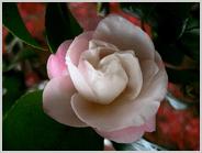 薄桃色の椿
