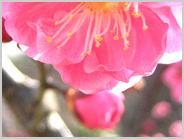 梅小路公園の紅梅