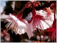梅小路公園の寒桜