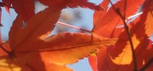 Japanese maple (momiji) leaves.