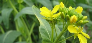 rape flower (na-no-hana)