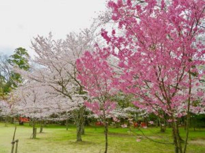 上賀茂神社桜a