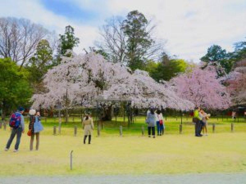 上賀茂神社桜7