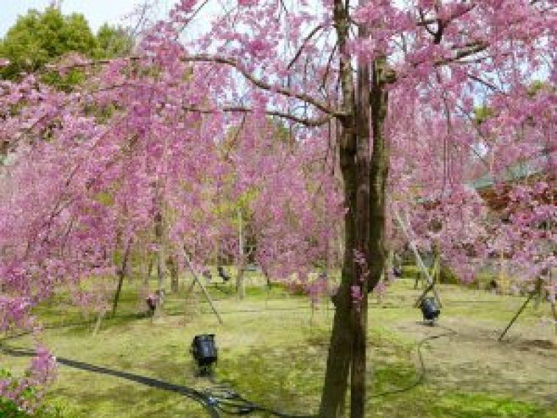 平安神宮桜お花見7