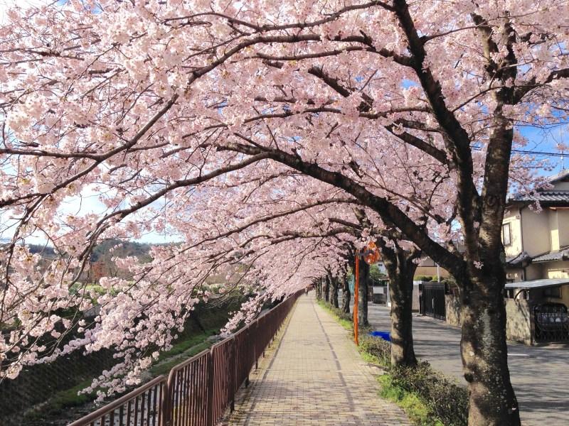 京都桜お花見穴場岩倉5