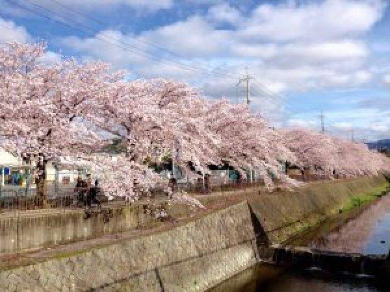 京都桜お花見穴場岩倉1
