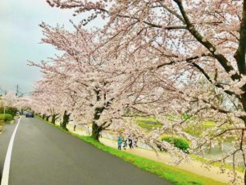 鴨川桜お花見8