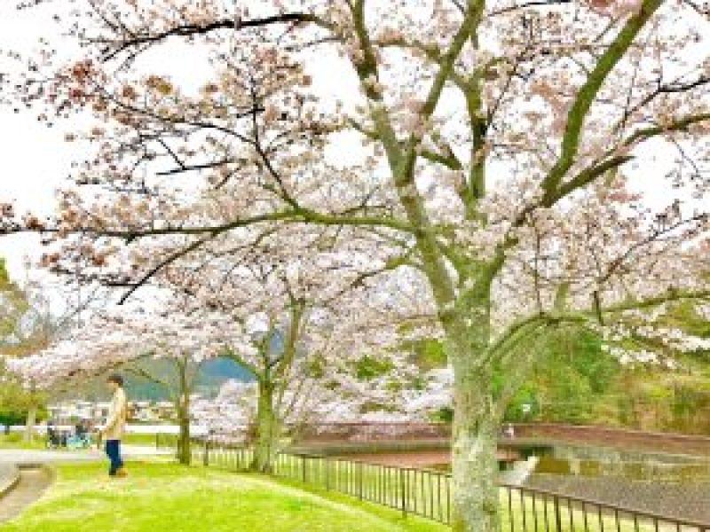 宝ヶ池公園花見桜7