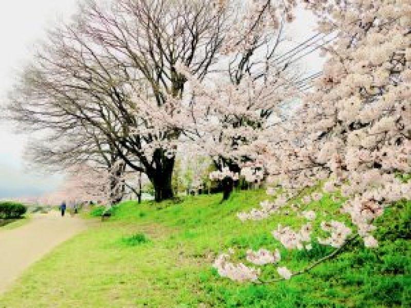 鴨川桜お花見10