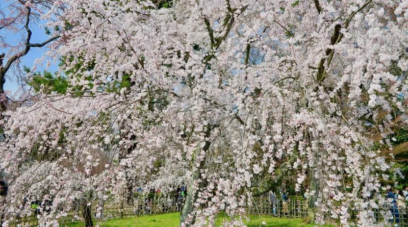 京都御苑桜