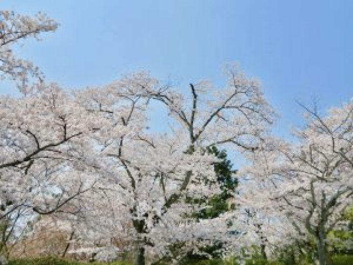 龍安寺桜9
