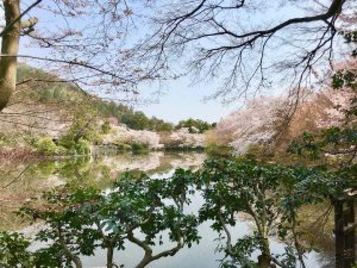 龍安寺桜12