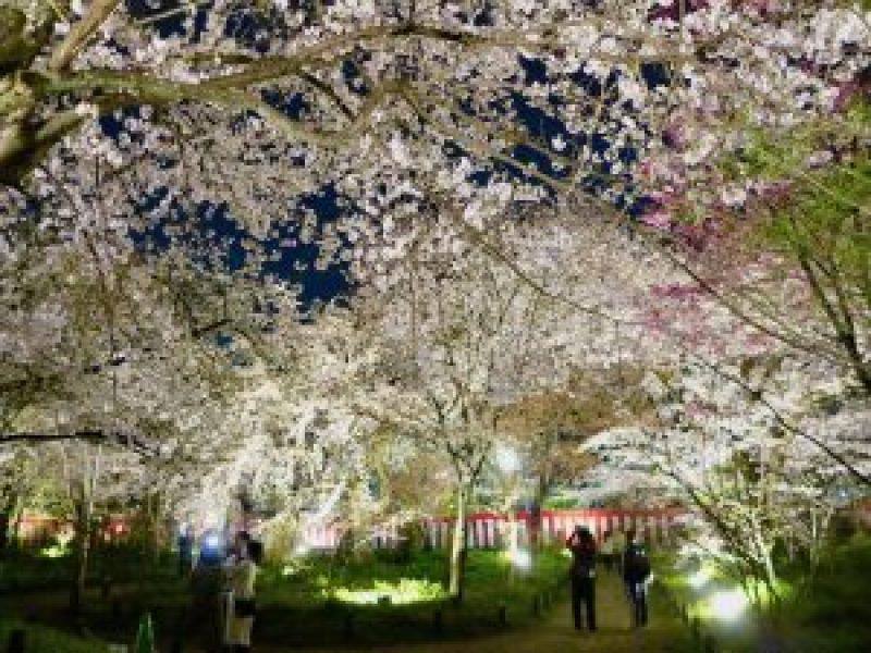 平野神社夜桜11