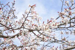 円山公園の早咲きの桜