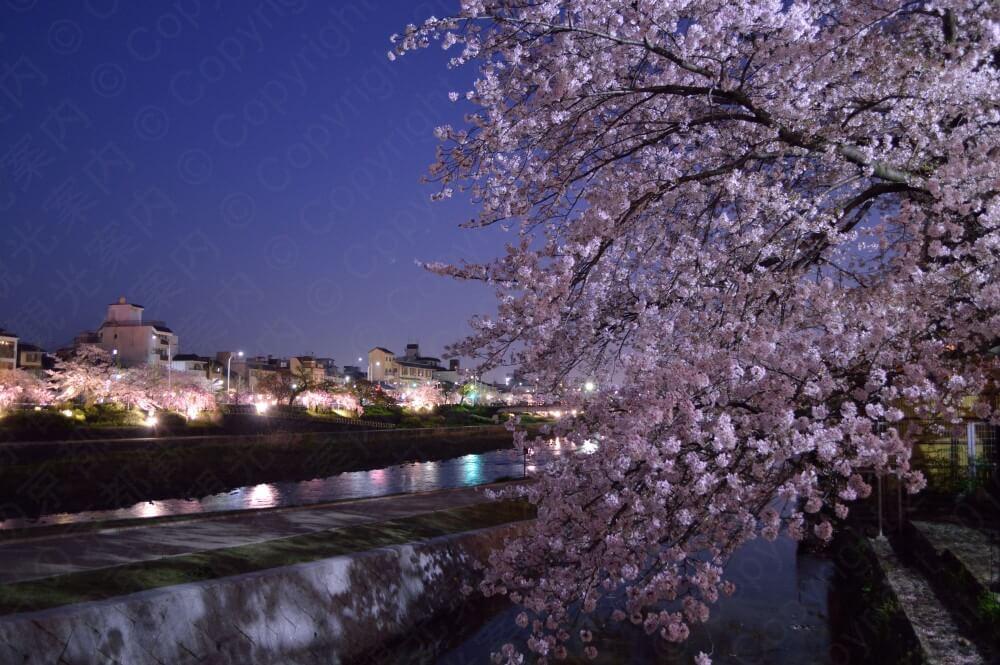 2017鴨川の桜