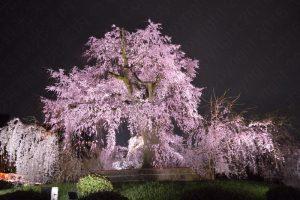 円山公園の枝垂桜2017