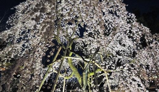 🌸 京都の桜の名所「平野神社」夜桜・しだれ桜・ライトアップ