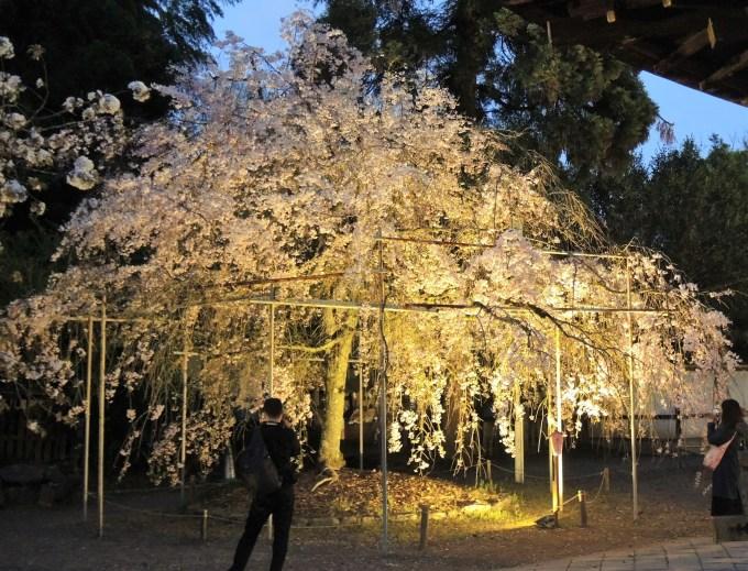 京都「平野神社」しだれ桜・ライトアップ