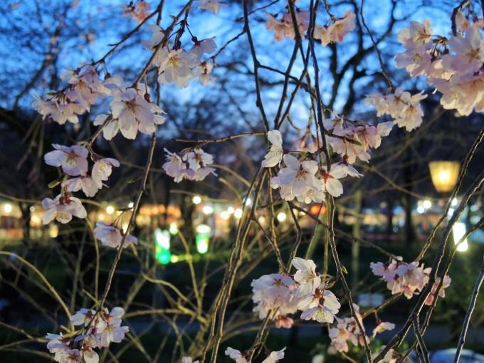 京都「平野神社」桜苑・ライトアップ