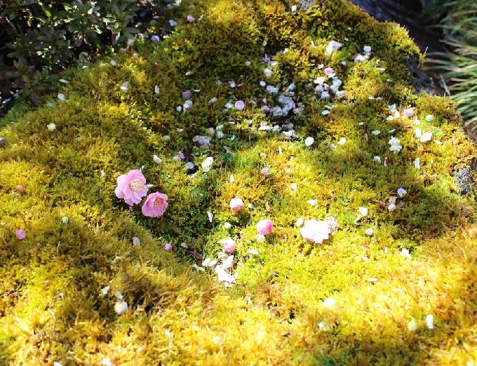 16こけと梅の花びら