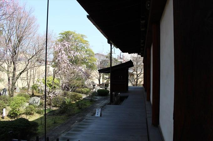 24本堂北側に桜