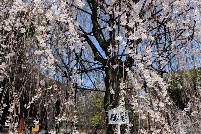 13おかめ桜を近くから