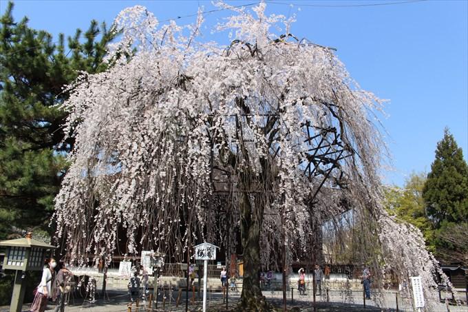 12阿亀桜
