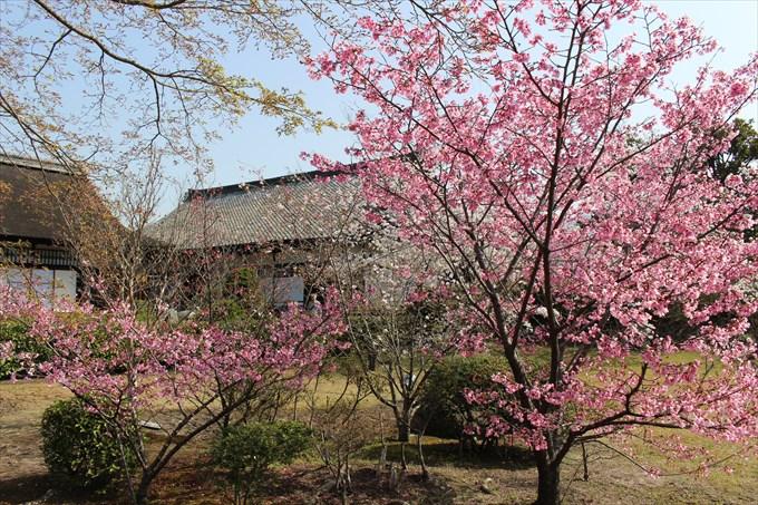 20色の濃い桜
