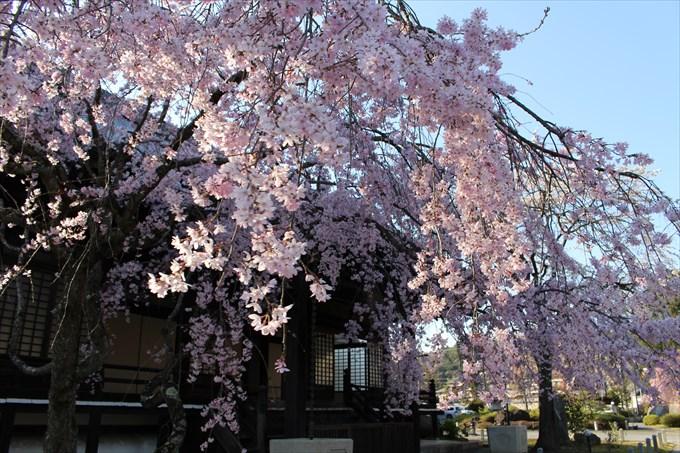 35妙満寺の桜