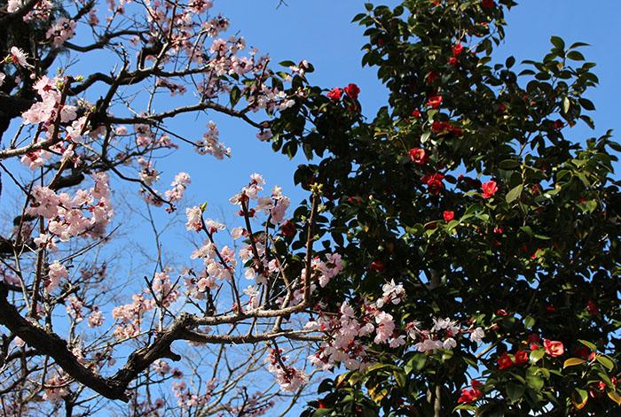 42大乗院の梅と椿のコラボ