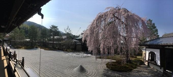10高台寺の方丈前庭のしだれ桜パノラマ