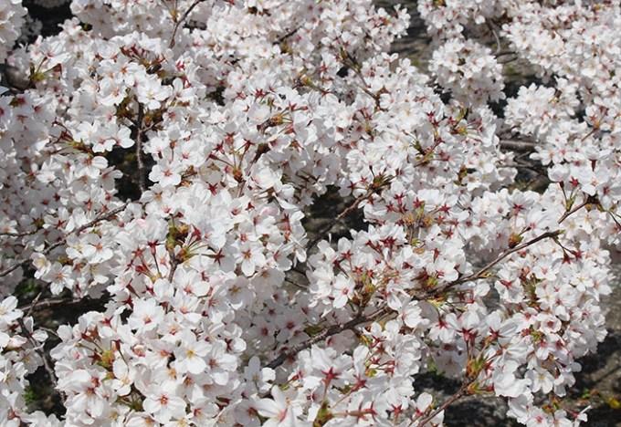 21立本寺桜のアップ