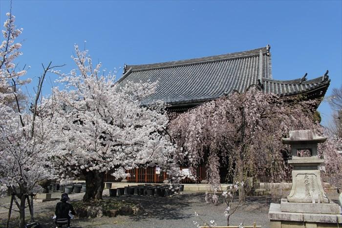 51本堂と桜