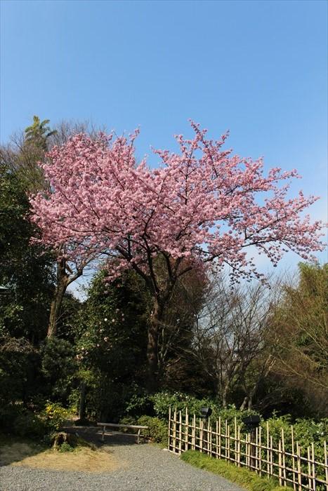 5高台寺の桜(縦)