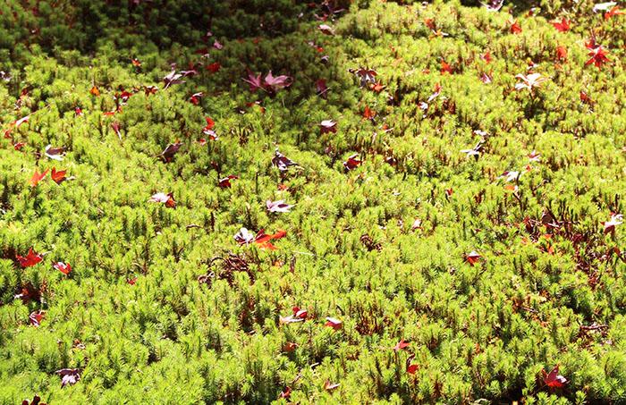 11苔と紅葉
