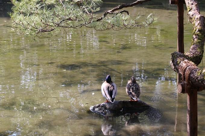 45.蒼龍池の鴨