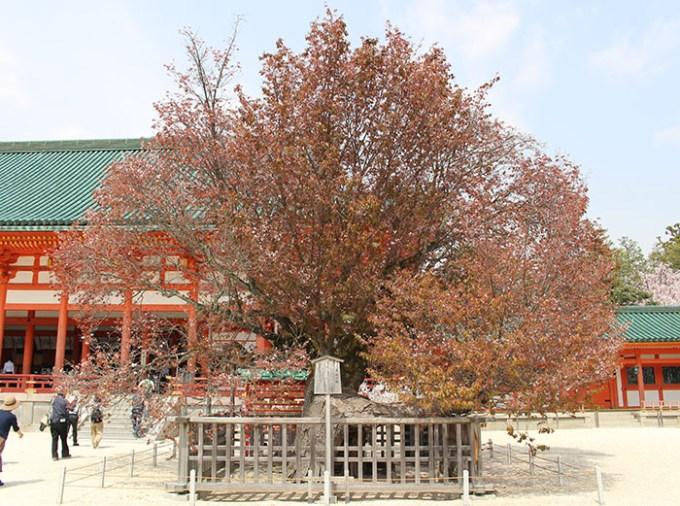 9.左近の桜は散ってました‥