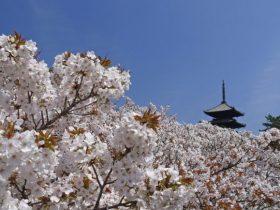 仁和寺御室桜