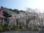 毘沙門堂桜
