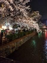 木屋町通桜