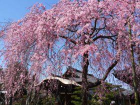 法金剛院桜