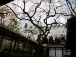 十輪寺桜見ごろ