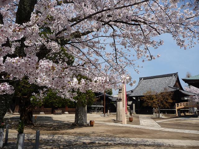 妙顕寺桜見ごろ