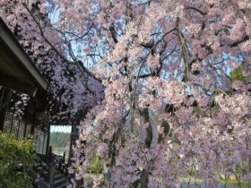 妙満寺桜見ごろ