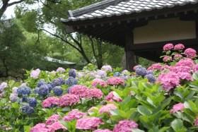藤森神社アジサイ