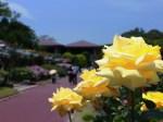 京都府立植物園バラ