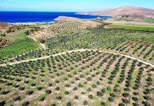 sigri elaiolado Lesvos olive trees