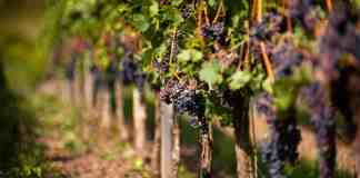 vines on a grapeyard!